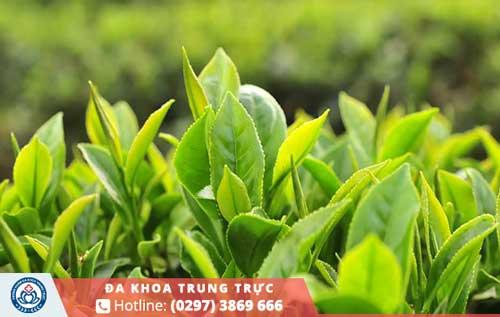 Cần ngâm rửa lá trà xanh kỹ lưỡng trước khi sử dụng